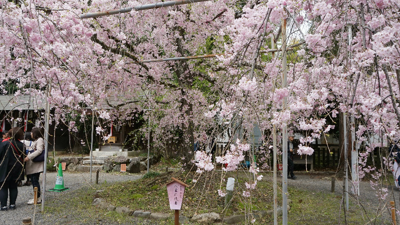 full blooming cherry blossom trees