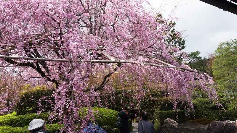 huge weeping cherry tree