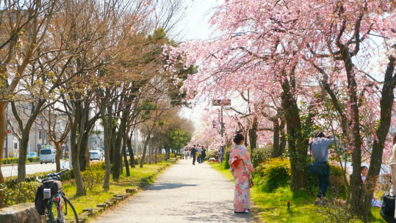 cherry blossoms on both sides
