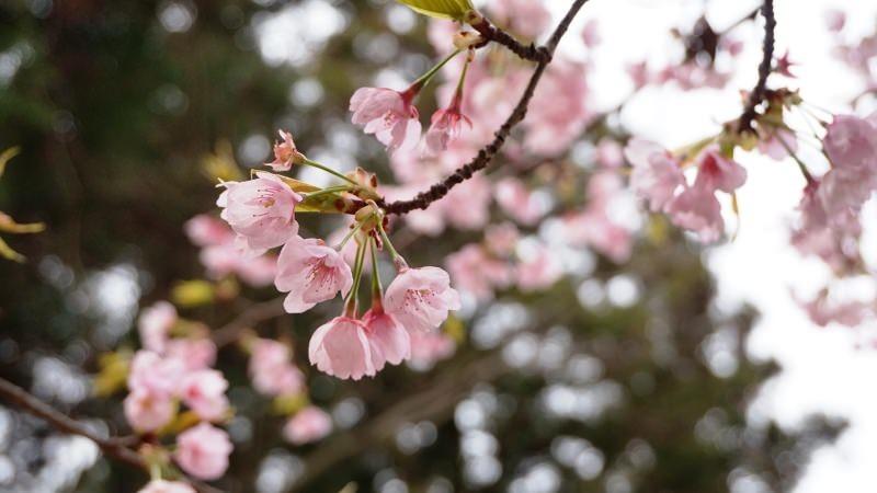 Somei Yoshino cherry blossoms