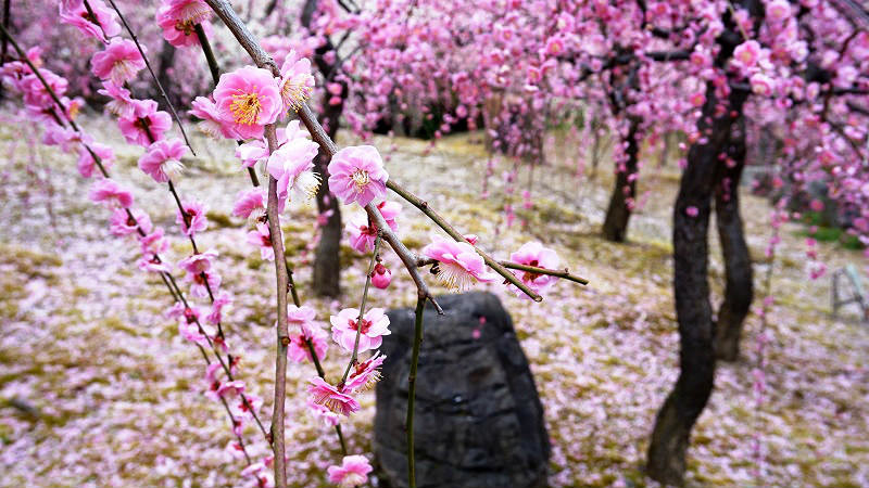 petals of the plum blossoms