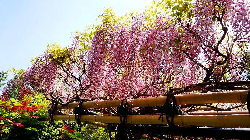 Taizo-in Temple's wisteria