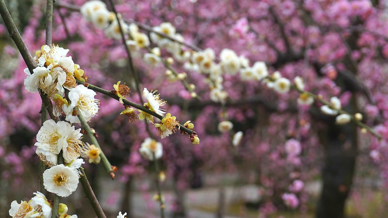 white plum blossoms