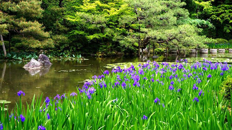 Heian Jingu Shrine's irises and water lilies