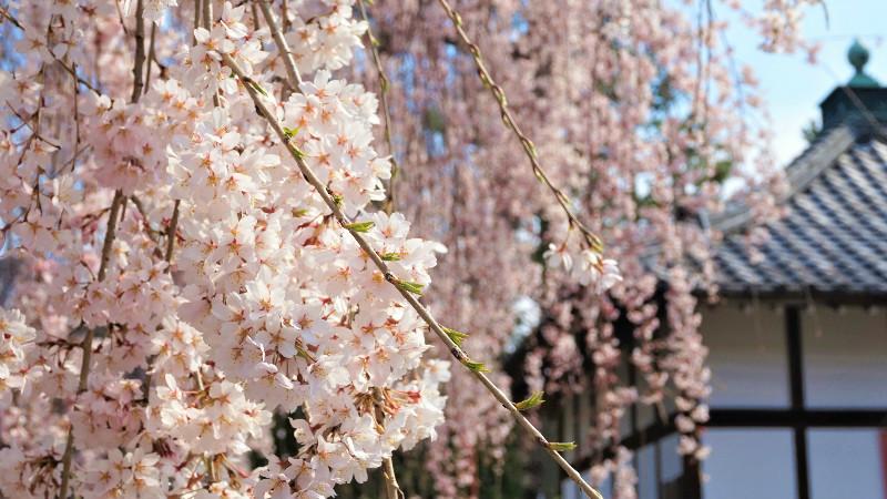 櫻花是比較脆弱的樹木