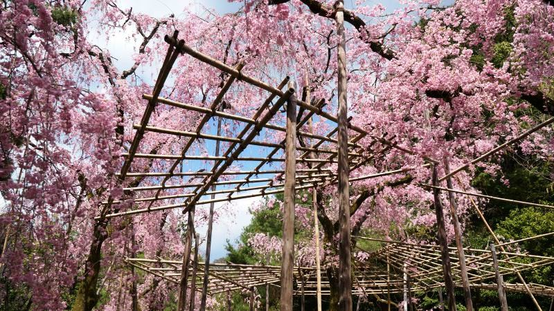 The weeping cherry trees of the Shin'en Garden are especially famous