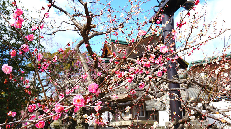 Plum blossoms are truly the flower of spring
