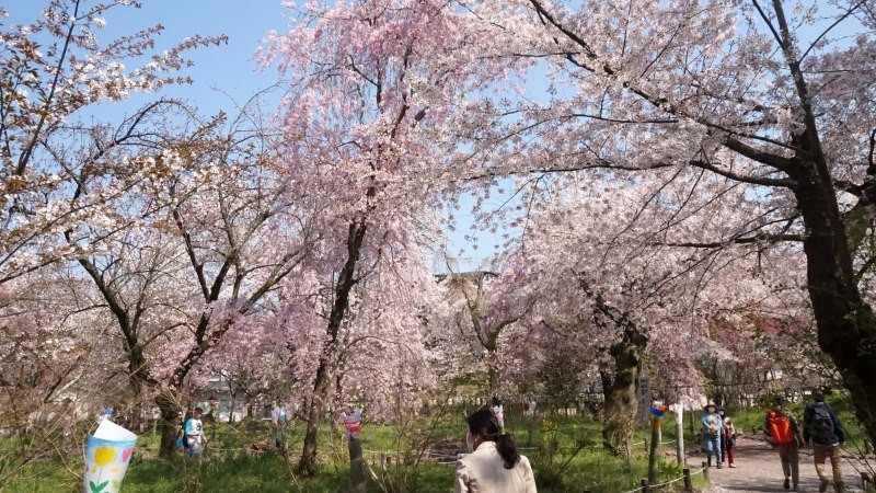 sakura flower garden