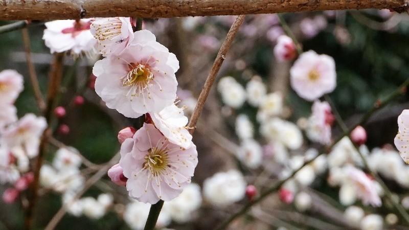 白色的梅花綻放著