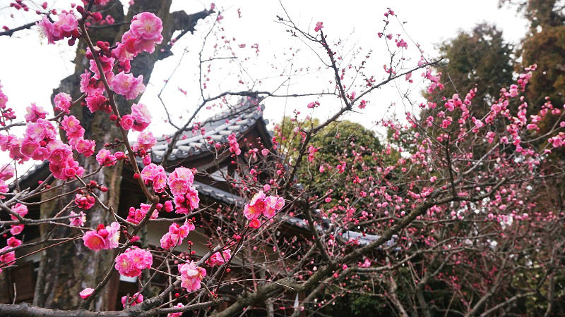 beauty of both plum blossoms and camellia flowers