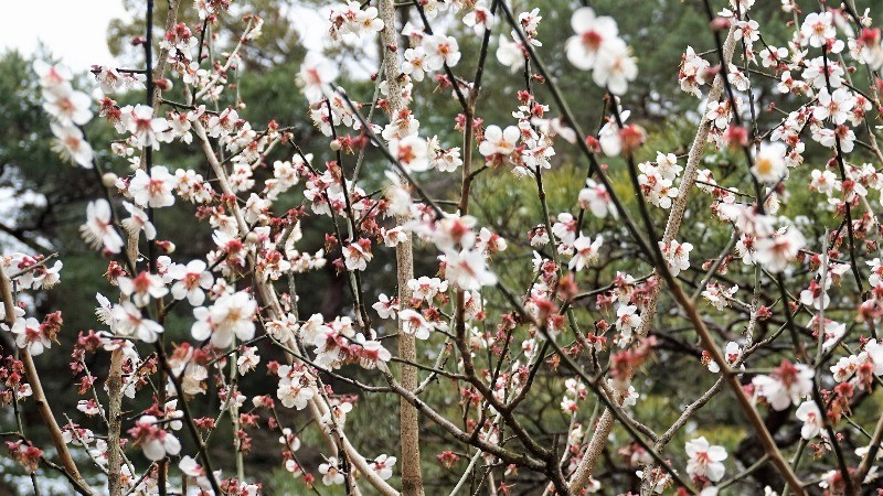 beautiful red and white plum blossoms