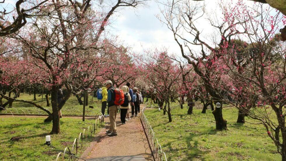 plum trees here