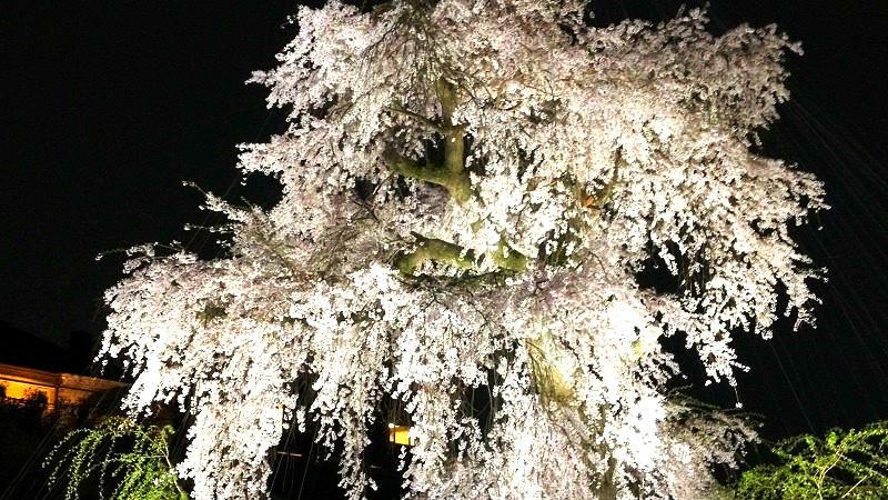 円山公園的櫻花燈照円山公園
