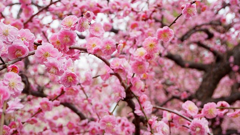 垂枝梅和山茶花節的方式