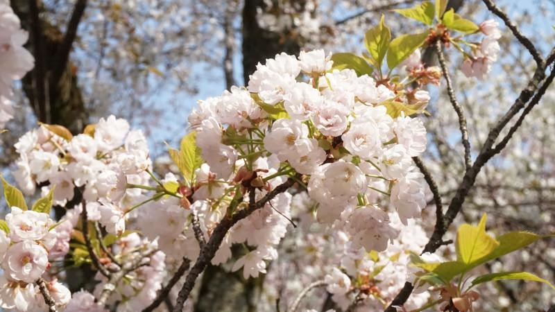 many types of cherry trees