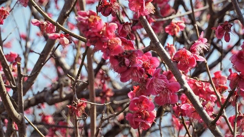 Korin's plum tree