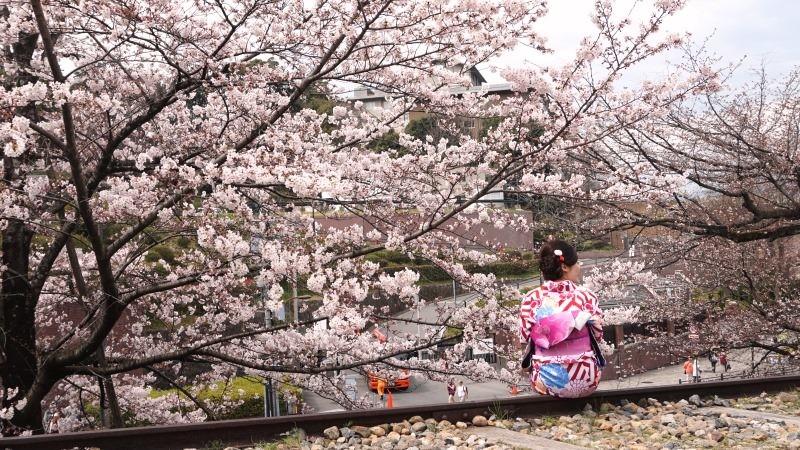 cherry blossom and kimono woman