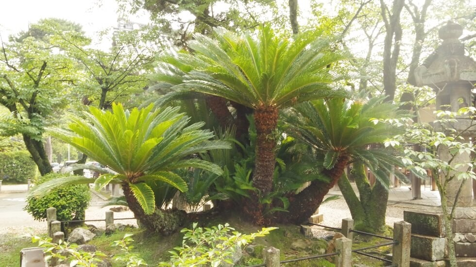 Sago palm trees